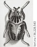 Goliathus regius, the Royal Goliath beetle, a species of beetle of... Стоковое фото, фотограф Classic Vision / age Fotostock / Фотобанк Лори