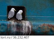 Kittiwakes (Rissa tridactyla) nesting in ship hole, Båtsfjord, Varanger, Finnmark, Norway. Стоковое фото, фотограф Staffan Widstrand / Nature Picture Library / Фотобанк Лори