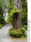 A large tree at the driveway to a home in Ucluelet, BC, Canada. Стоковое фото, фотограф Douglas Williams / age Fotostock / Фотобанк Лори