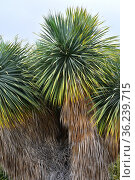 Beaked yuca (Yucca rostrata) is an arborescent plant native to deserts... Стоковое фото, фотограф J M Barres / age Fotostock / Фотобанк Лори