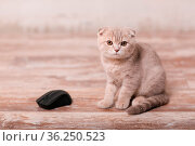 Scottish fold cat and computer mouse. Стоковое фото, фотограф Zoonar.com/Max / easy Fotostock / Фотобанк Лори