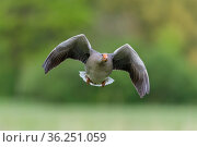 Graugans im Flug , Anser anser, Greylag Goose flying. Стоковое фото, фотограф Zoonar.com/CHRISTOPHBOSCH@GMX.DE / easy Fotostock / Фотобанк Лори