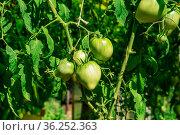 Unripe tomato fruit in a greenhouse close-up. Стоковое фото, фотограф Евгений Харитонов / Фотобанк Лори
