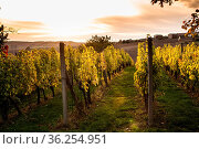 Vineyard on the hill and sky with sunset landscape. Стоковое фото, фотограф Zoonar.com/Oksana Shufrych / easy Fotostock / Фотобанк Лори