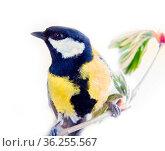 Great tit favorite bird of citizens of Europe. Feeding of birds refers... Стоковое фото, фотограф Zoonar.com/Maximilian Buzun / easy Fotostock / Фотобанк Лори