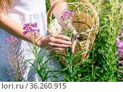Woman herbalist`s hands gathers fireweed in a basket, hands close-up. Стоковое фото, фотограф Евгений Харитонов / Фотобанк Лори