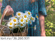 Basket of chamomiles in the hands of a woman in a traditional peasant dress. Стоковое фото, фотограф Евгений Харитонов / Фотобанк Лори