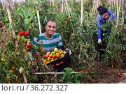Hispanic farmer harvesting ripe tomatoes on farm field. Стоковое фото, фотограф Яков Филимонов / Фотобанк Лори