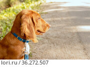 Sad spaniel puppy is waiting for the owner at the edge of the road. Стоковое фото, фотограф Филатова Ирина / Фотобанк Лори