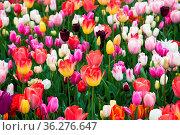 Field of beautiful colorful tulips in a sunny Holland. Стоковое фото, фотограф Zoonar.com/Yuri Dmitrienko / easy Fotostock / Фотобанк Лори