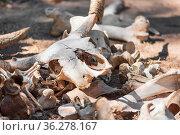 Skulls and bones Of Dead Animals In The Far West. Стоковое фото, фотограф Zoonar.com/DAVID HERRAEZ CALZADA / easy Fotostock / Фотобанк Лори