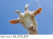 Weiße Ziege guckt von ihrem erhöhten Standpunkt überheblich zum Fotografen... Стоковое фото, фотограф Zoonar.com/Eder Hans / easy Fotostock / Фотобанк Лори