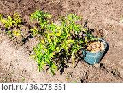 Freshly dug organic potatoes of new harvest at the potatoes plantation... Стоковое фото, фотограф Zoonar.com/Alexander Blinov / easy Fotostock / Фотобанк Лори