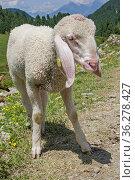 Kleines Lamm verbringr seinen ersten Sommer auf einer Almweide in... Стоковое фото, фотограф Zoonar.com/Christa Eder / easy Fotostock / Фотобанк Лори