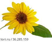 Sunflower (Helianthus),  houseplant, on white background (close-up) Стоковое фото, фотограф Валерия Попова / Фотобанк Лори