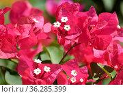 Ornamental shrub or Bougainvillea tree (Latin - Bougainvillea) Стоковое фото, фотограф Irina Opachevsky / Фотобанк Лори