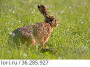 Feldhase (Lepus europaeus), Schleswig-Holstein, Deutschland, Europa... Стоковое фото, фотограф Zoonar.com/Stefan Ernst / age Fotostock / Фотобанк Лори