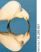 Snowy egret (Egretta thula) Gilbert Riparian Preserve, Gilbert, Arizona, USA. Стоковое фото, фотограф Jack Dykinga / Nature Picture Library / Фотобанк Лори