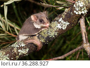 Narrow-toed Feathertail glider (Acrobates pygmeaus), Greater Blue Mountains UNESCO Natural World Heritage Site, New South Wales, Australia. Стоковое фото, фотограф Jiri Lochman / Nature Picture Library / Фотобанк Лори