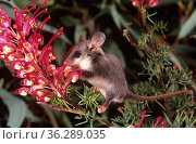 Western Pygmy-possum (Cercartetus concinnus) feeding on flowers of a Grevillea (Grevillea georgeana), Helena Aurora Range proposed National Park, Australia. Стоковое фото, фотограф Jiri Lochman / Nature Picture Library / Фотобанк Лори