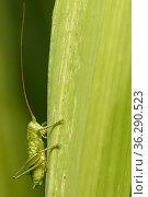 Крупный зелёный кузнечик с длинными усами сидит среди травы. Стоковое фото, фотограф Игорь Низов / Фотобанк Лори