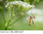 Большой комар долгоножка сидит на цветке. Стоковое фото, фотограф Игорь Низов / Фотобанк Лори