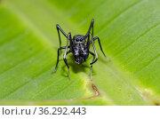Ant-mimic Spider (Myrmarachne sp) on leaf, Klungkung, Bali, Indonesia. Стоковое фото, фотограф Colin Marshall / age Fotostock / Фотобанк Лори