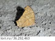 Dry season form of Common Evening Brown Butterfly (Melanitis leda... Стоковое фото, фотограф Colin Marshall / age Fotostock / Фотобанк Лори