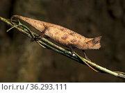 Brown leaf chameleon (Brookesia superciliaris), (Chameleonidae), ... Стоковое фото, фотограф Zoonar.com/GFC Collection / age Fotostock / Фотобанк Лори