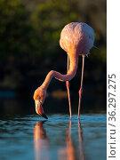 American flamingo (Phoenicopterus ruber) in saline lagoon, Santa Cruz Island, Galapagos Islands. Стоковое фото, фотограф Tui De Roy / Nature Picture Library / Фотобанк Лори