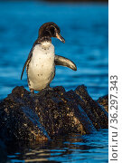 Galapagos penguin (Spheniscus mendiculus), adult plumage, Isabela Island, Galapagos Islands. Стоковое фото, фотограф Tui De Roy / Nature Picture Library / Фотобанк Лори