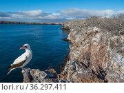 Nazca booby (Sula granti), Genovesa Island, Galapagos Islands. Стоковое фото, фотограф Tui De Roy / Nature Picture Library / Фотобанк Лори