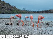 American flamingos (Phoenicopterus ruber) feeding in saline lagoon, with White-cheeked pintails (Anas bahamensis), Floreanan Island, Galapagos Islands. Стоковое фото, фотограф Tui De Roy / Nature Picture Library / Фотобанк Лори