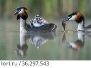 Great crested grebe (Podiceps cristatus) parent bird with chicks on the back while the other parent is feeding the chicks with a fish Valkenhorst Nature Reserve, Valkenswaard, The Netherlands. May. Стоковое фото, фотограф David Pattyn / Nature Picture Library / Фотобанк Лори