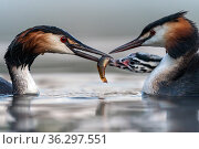 Great crested grebe (Podiceps cristatus) parents busy feeding their young with fish, in this case a small Tench (Tinca tinca) Valkenhorst Nature Reserve, Valkenswaard, The Netherlands. June. Стоковое фото, фотограф David Pattyn / Nature Picture Library / Фотобанк Лори