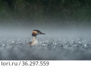 Great crested grebe (Podiceps cristatus) adult in a heavy summer rainstorm. Valkenhorst Nature Reserve, Valkenswaard, The Netherlands. June. Стоковое фото, фотограф David Pattyn / Nature Picture Library / Фотобанк Лори