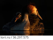 Great crested grebe (Podiceps cristatus) adult with young chick on the back preening in the first morning light Valkenhorst Nature Reserve, Valkenswaard, The Netherlands. May. Стоковое фото, фотограф David Pattyn / Nature Picture Library / Фотобанк Лори