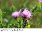 Carduus acanthoides. Чертополох колючий, пчела на цветках растения. Стоковое фото, фотограф Григорий Писоцкий / Фотобанк Лори