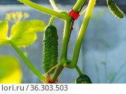 Натуральные сладкие сочные огурцы растут в парнике на ферме без использования химикатов при естественном освещении и поливе. Стоковое фото, фотограф Sergei Gorin / Фотобанк Лори