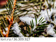 snow on the branches of pine needles, close-up. Стоковое фото, фотограф Tetiana Chugunova / Фотобанк Лори