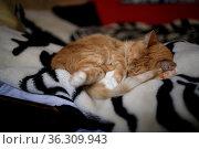 ginger fluffy cat sleeps on a black and white blanket. Стоковое фото, фотограф Tetiana Chugunova / Фотобанк Лори