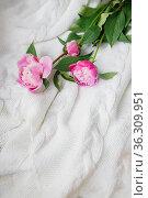 fresh pink peonies lie on a white knitted sweater, top view, copy space. Flat lay. Стоковое фото, фотограф Tetiana Chugunova / Фотобанк Лори