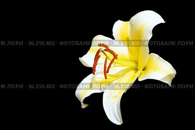 Open bright lily flower, isolated on a black background