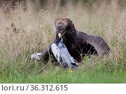 Steppenadler (Aquila nipalensis) rupft Taube. Стоковое фото, фотограф Zoonar.com/Winfried Schäfer / age Fotostock / Фотобанк Лори