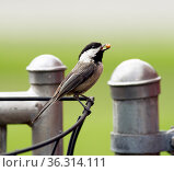 A Black-capped Chickadee travels the fence line gathering food to... Стоковое фото, фотограф Zoonar.com/Christopher Boswell / easy Fotostock / Фотобанк Лори