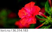 Red four o'clock flower (Mirabilis Jalapa) macro shot. Стоковое фото, фотограф Zoonar.com/Thomas Dutour / easy Fotostock / Фотобанк Лори