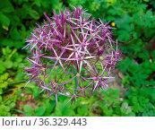Sternkugel-Lauch, Allium cristophii. Стоковое фото, фотограф Zoonar.com/Manfred Ruckszio / easy Fotostock / Фотобанк Лори