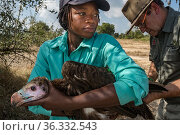 A young White-headed vulture (Trigonoceps occipitalis) is gently restrained as biologists prepare to release it after attaching a solar-powered GPS transmitter... Стоковое фото, фотограф Jen Guyton / Nature Picture Library / Фотобанк Лори