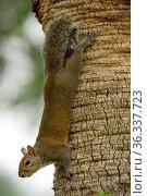 Eastern grey squirrel (Sciurus carolinensis) climbing down a tree, Southwest Florida, USA. December. Стоковое фото, фотограф Steven David Miller / Nature Picture Library / Фотобанк Лори