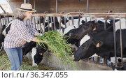 Skillful elderly female farmer working in cowshed, feeding cows with fresh green grass on summer day. Стоковое видео, видеограф Яков Филимонов / Фотобанк Лори